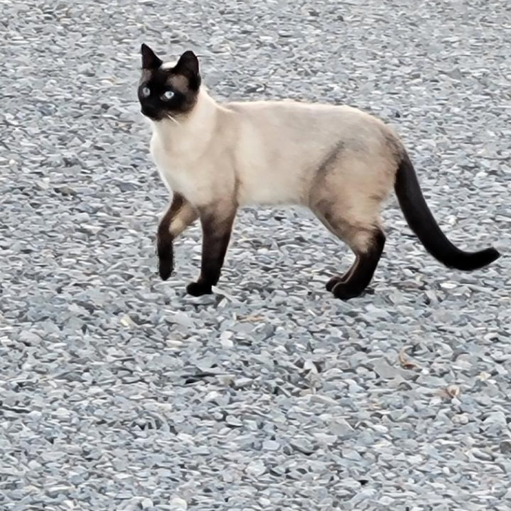Tom is an adult male Siamese. He is a bit shy, but gets a little extra confidence from his buddy Tom. We hope to rehome these two together as a loving pair of indoor-outdoor kitties.