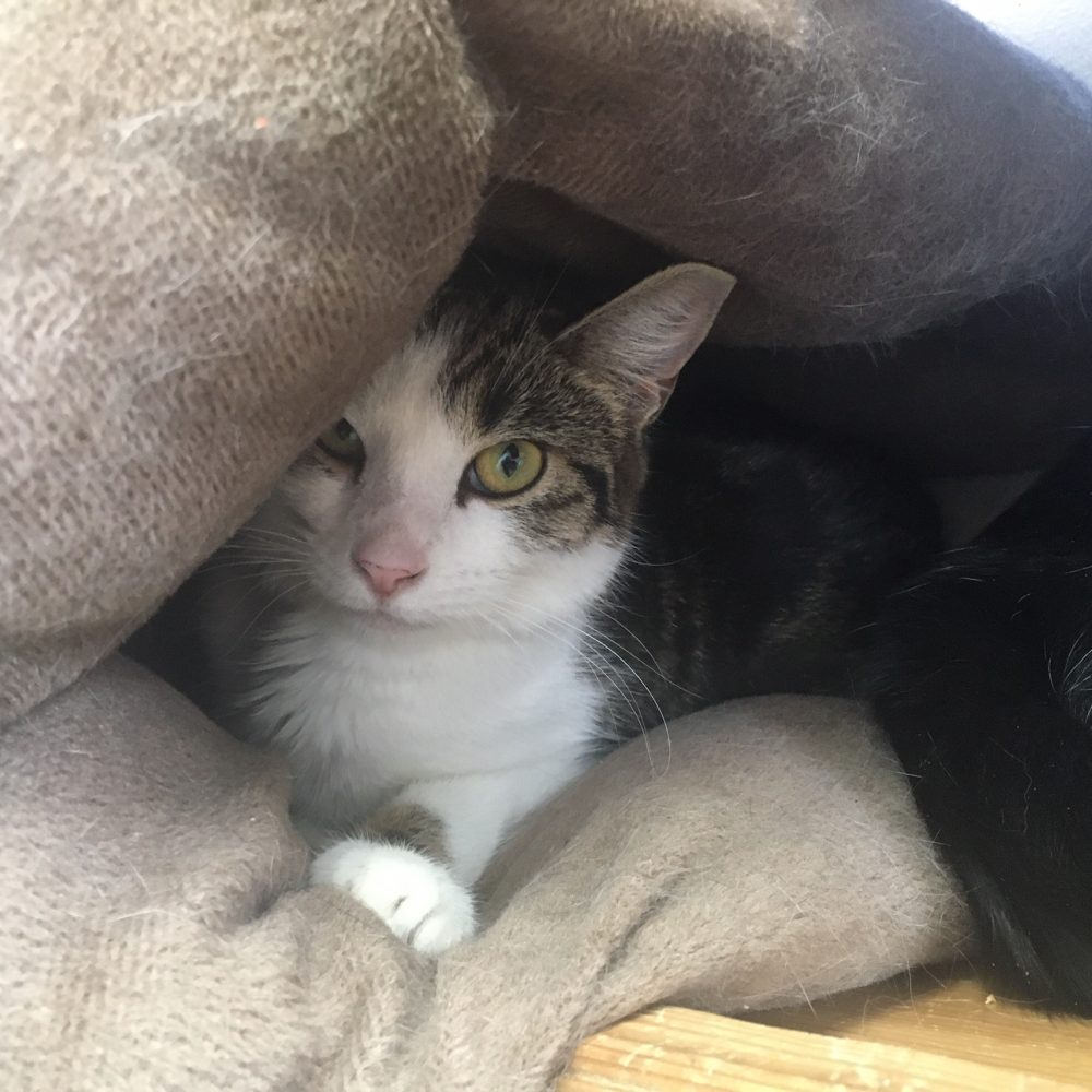 Vole is a one-year-old female, siblings with Chinchilla. She is a bit shy, but when she's comfortable she is very playful and affectionate, and she has stunning gold and green eyes.