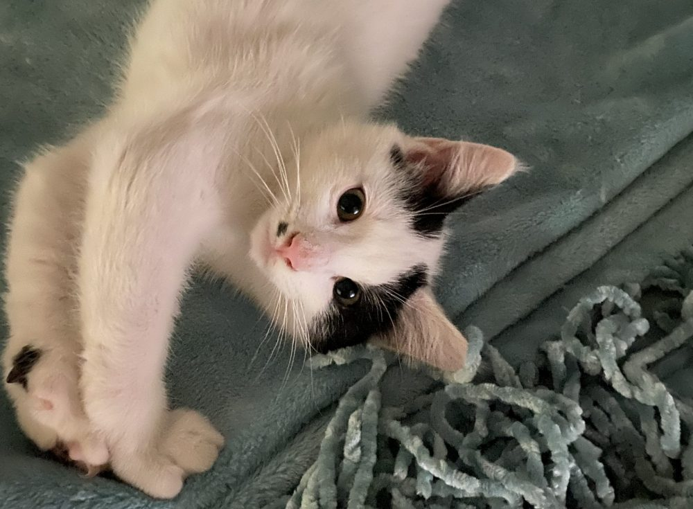 Cricket is a little boy born in the beginning of May. He is in foster care with Cotton, they do incredibly well together, and we would love to see these two go to the same home! Cricket is much more social, and helps offset Cotton's shyness.